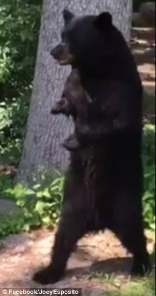 New Jersey black bear who went viral because of badly