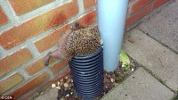 Hungry Dutch hedgehog gets stuck in a drain pipe as he ...