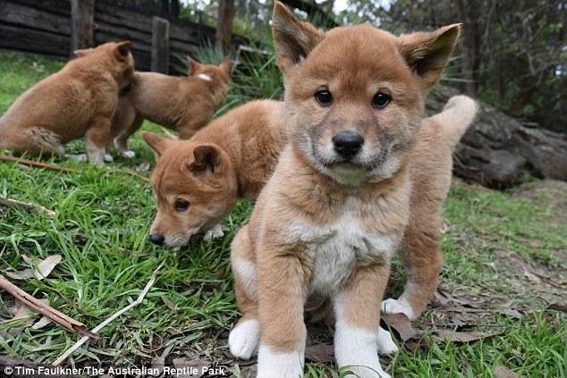 dingos sauvages