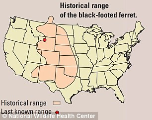 Black-footed ferret populations have severely dwindled in the last century, as illustrated above