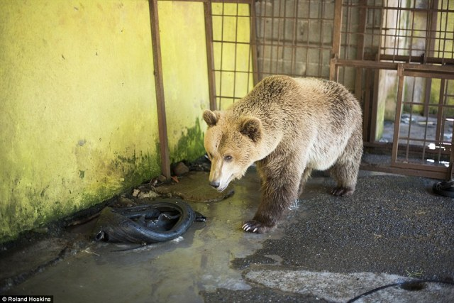 The man who runs the restaurant, who refuses to reveal his name, came up with his idea of taking the bear out of his natural habitat - in a bid to boost takings. He said he paid a vet to hunt Tomi down with a tranquiliser gun