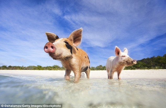 On a small uninhabited island in the Exuma region of the Bahamas, wild pigs paddle freely around, and they don't charge you for joining them - although edible gifts are welcome