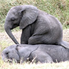 Baby Chair 1 Year Old Wooden Chairs Images Cheeky Elephant Uses His Worn-out Friend As A In Tanzania | Daily Mail Online