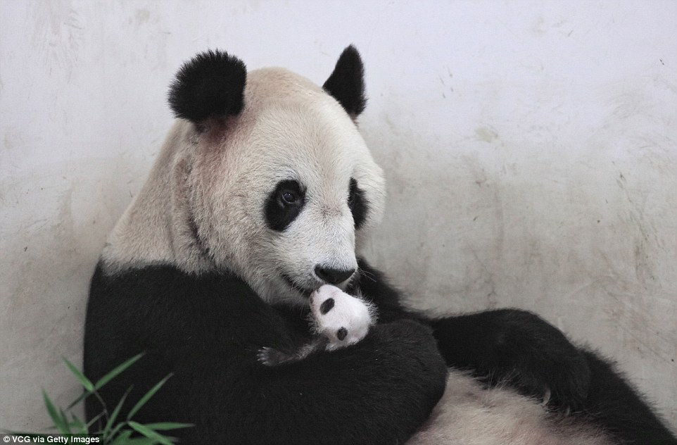 Cute Mother And Baby Wallpapers Giant Panda Cub In Shanghai Cuddles Into Her Mother A