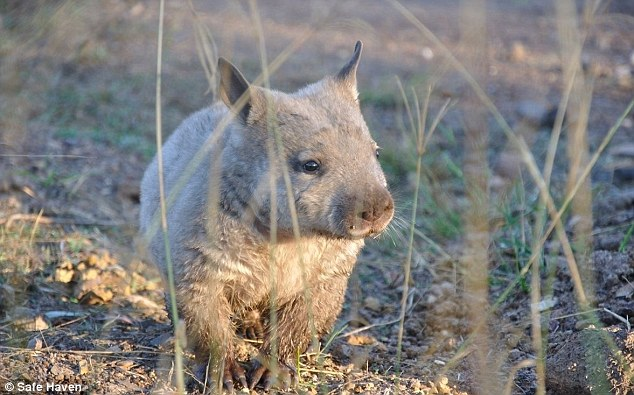 But the scientists hope to measure the marsupial's hormone levels with non-invasive methods in the future, a challenge due to the heftiness of wombats