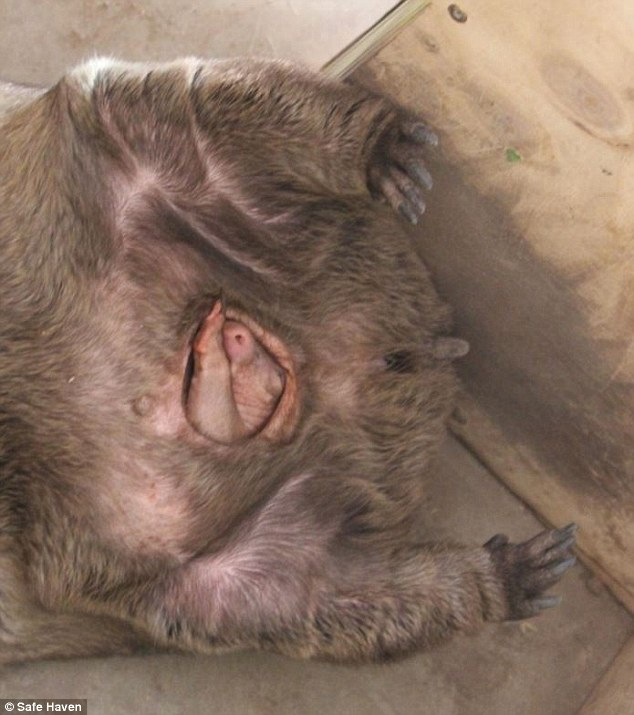 A wombat giving birth: The key to performing artificial insemination, a feat the team hopes to achieve within the next year, is to pinpoint when the females are on heat or oestrus