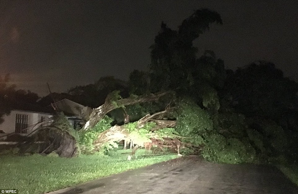 Downed: Hurricane Matthew started pelting Florida with heavy rains and tropical force winds early Friday morning. A large tree was uprooted by the strong and powerful winds from the hurricane blocking West Plumosa Lane in Lake Worth Friday