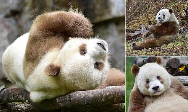 Meet The World S Only Brown Panda Qizai As His Keeper
