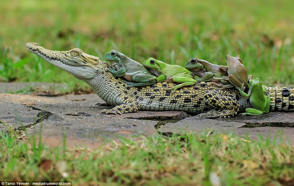 The final frog could be seen helping one of its friends, by pushing up its back legs so it could hop on the caiman's back