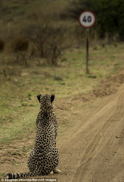 Vaughan Jessnitz was awarded a Highly Commended certificate for his image of a cheetah walking down a main road in a nature reserve in South Africa suddenly noticed a speeding sign, and promptly sat down as if to ponder this speed limit