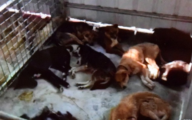 3. The desperate aftermath: Dying dogs at a Buddhist sanctuary where Ching's foundation placed 700 animals. Ching did not know that the Buddhists would not help sick animals, and many of the dogs ended their days in agony