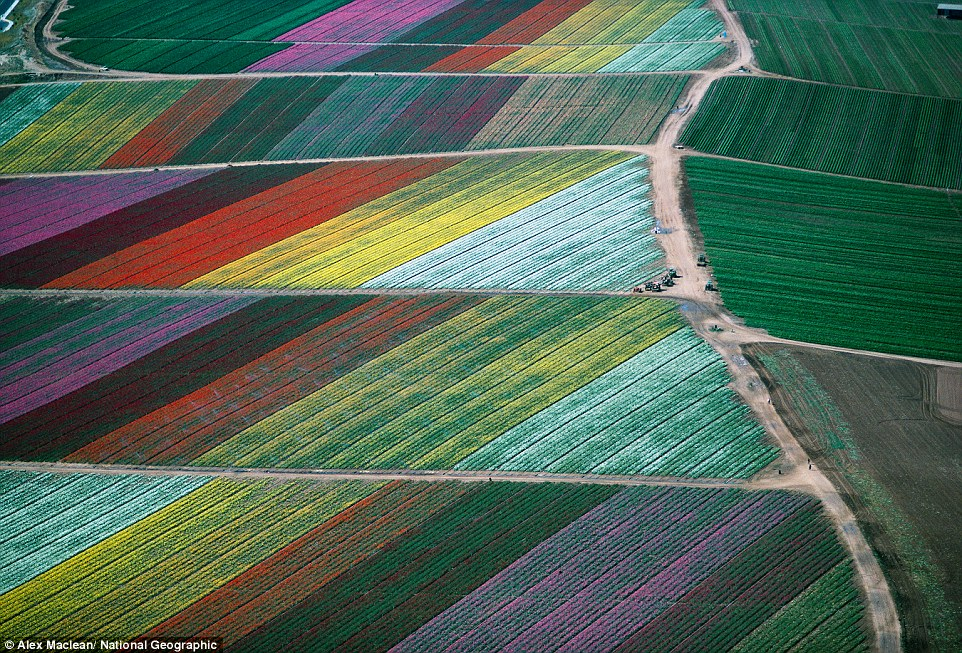 Carlsbad, California: Multicolored flowers form a kaleidoscopic field pattern