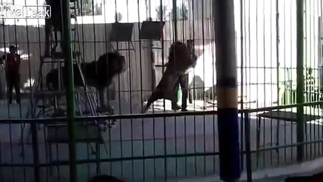 Horrific footage showed the lion attacking the circus trainer during the live show in Egypt