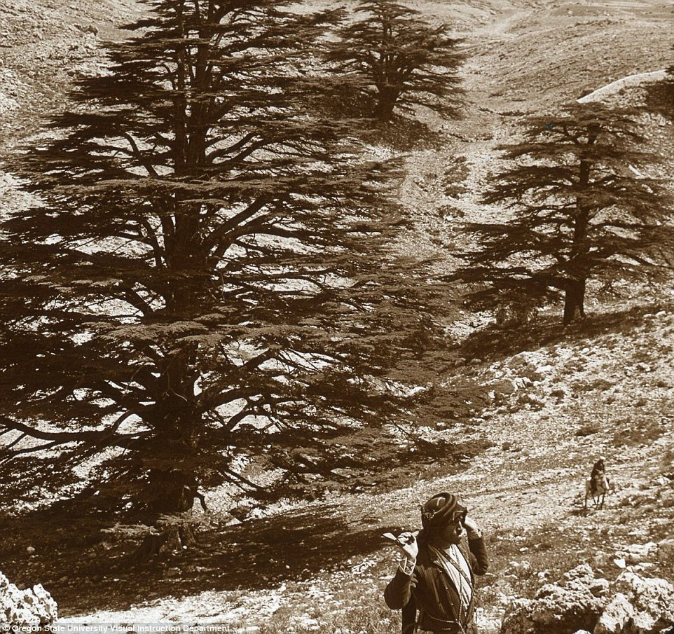 Cedar trees in Lebanon. The demands of trade have left only a few groves of these trees remaining