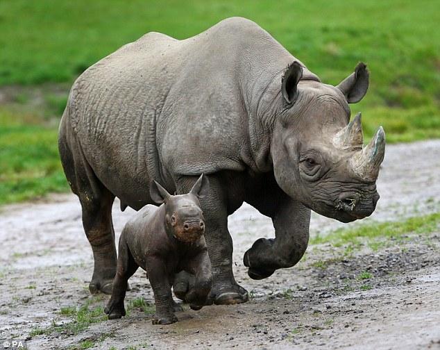 Black Rhinos On The Brink Of Extinction As Poaching Grows