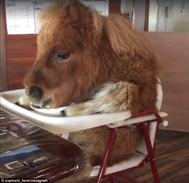 baby eating chair barcelona knock off video of a mini horse in highchair sparks outrage | daily mail online