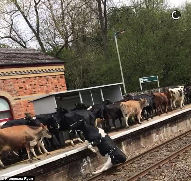 Image result for cows on railway tracks