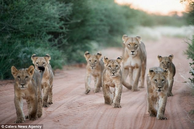 The new adorable family were captured on camera by private Safari Architects guide, Mike Sutherland, 29, two weeks ago at the Tswalu Kalahari Reserve in South Africa