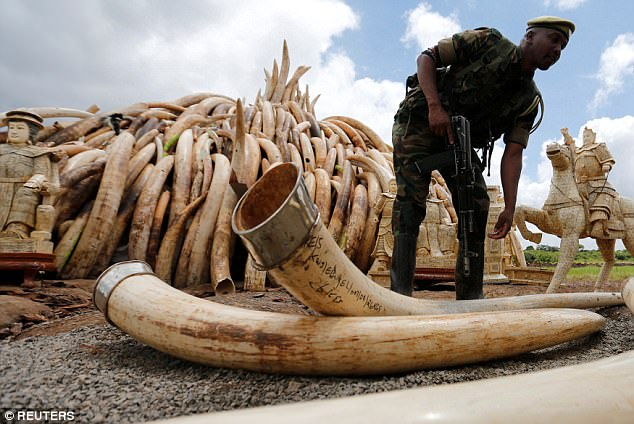 In August, a separate study found that the number of savanna elephants in Africa was rapidly declining and the animals were in danger of being wiped out as international and domestic ivory trades drive poaching across the continent (file picture)
