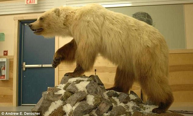 One of the many damaging effects of climate change put forward by scientists is that shrinking habitats are causing polar and grizzly bears to mate more. Pizzly, grolars or 'cappuccino bears' are common names of grizzly/polar hybrids (pictured)