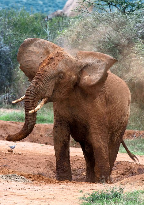 One of the elephants at Loisaba spotted by Graham on his trip