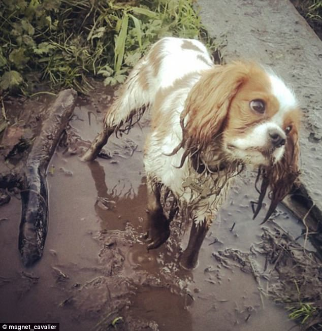 Instant regret: This Cavalier King Charles Spaniel doesn't appear to have thought their decision through