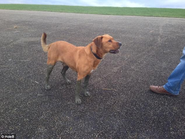 New boots: After wading through the mud, this dog looks as though it's wearing a pair of shoes