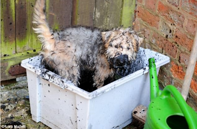 Hosing down: A dog is going to need to be deep cleaned after getting covered in mud