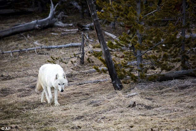 A rare white wolf (file image) had to be euthanized after hikers found her suffering from a gunshot wound in the Yellowstone National Park