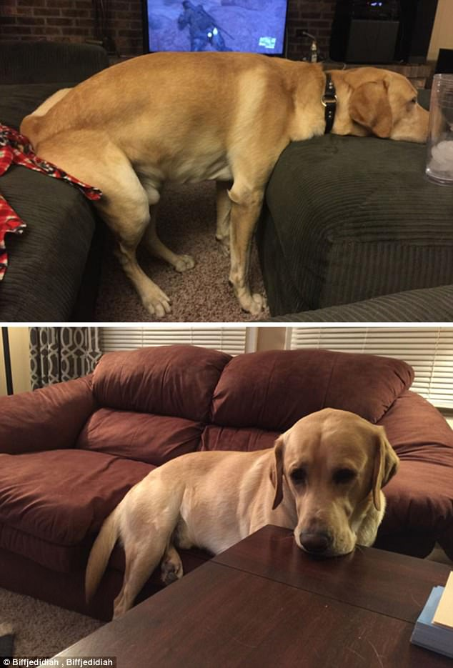 This Labrador believes that as long as his middle is not on the furniture, it doesn't count
