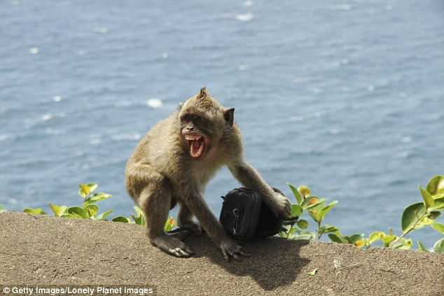 Macaques have been known to grab glasses, cameras and even wadges of cash which they refuse to return until they've got what they want (stock image)