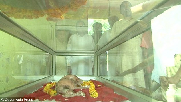 The animal's mother was taken to a cow shelter after being rescued from a butcher. For many Hindus cows must not be eaten although they can be used in agriculture or for dairy products