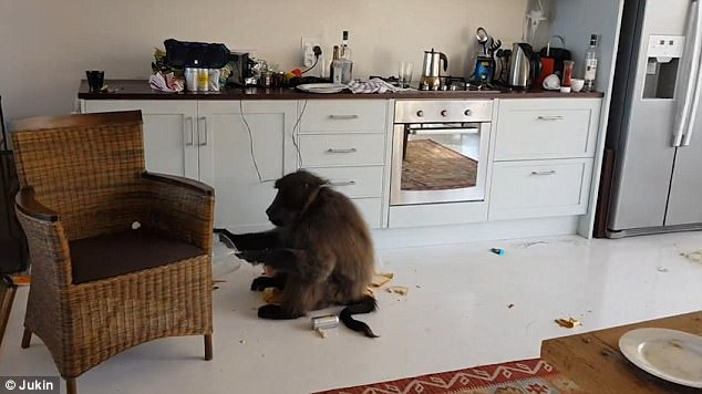 This is the surreal moment a man returned to his Airbnb apartment to find it was being trashed by seven baboons