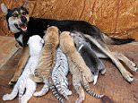 A mother dog is pictured breastfeeding its two puppies and four tiger cubs in a Chinese zoo