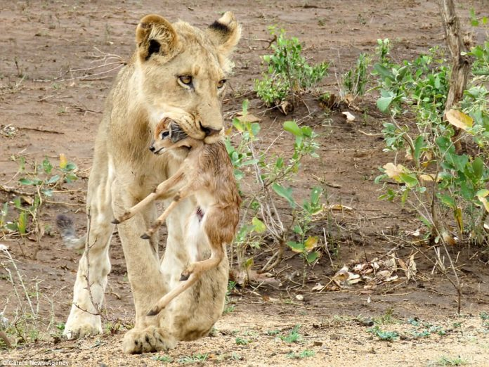Around 1,800 lions are thought to live inside Kruger National Park, though not many of them are known to take care of baby antelopes - much preferring to have them for dinner