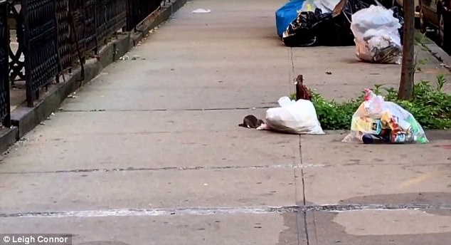 Rat's entertainment: A huge rat was seen tugging a trash bag across a sidewalk in Brooklyn on Thursday, just to get at the pieces of pizza inside