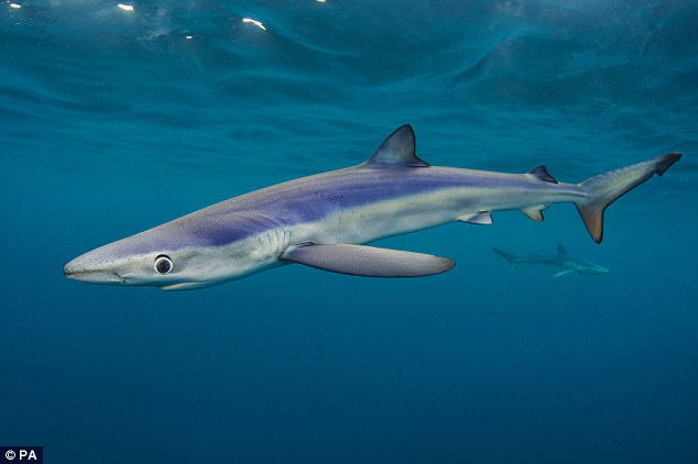 Authorities believe the 82-year-old man was attacked by a blue shark, similar to the one shown above