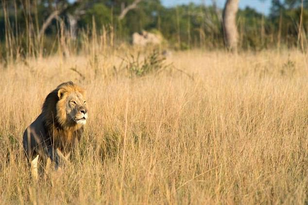 Xanda, a six-year-old male, was killed just outside Hwange National Park in north west Zimbabwe - near the spot where Cecil died two years ago. This image, purportedly showing the animal, was posted along with a message announcing the death on the Facebook page of the Lions of Hwange National Park group