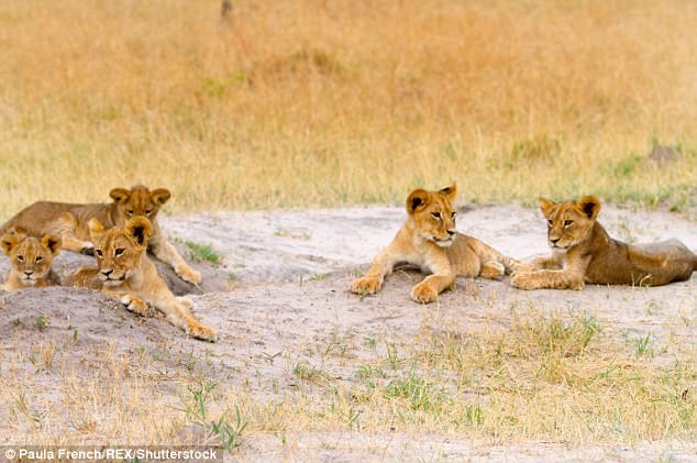 Cecil is believed to have had seven offspring – five females and two males by three lioness mates. Some of them are pictured basking in the sunshine in July 2015