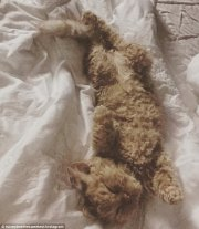 cat with incredibly curly fur