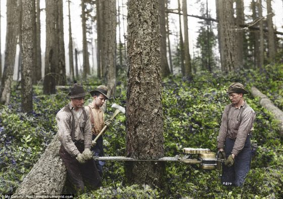 Lumberjacks demonstrate the mechanical 'wolf saw' for the camera in a photograph taken by the Washington State historical society in 1929.Lumberjacks, many of whom came from farms before heading to the woods to make money logging, took pride in the trees they cut and posed for pictures on massive stumps using the growing technology of photography
