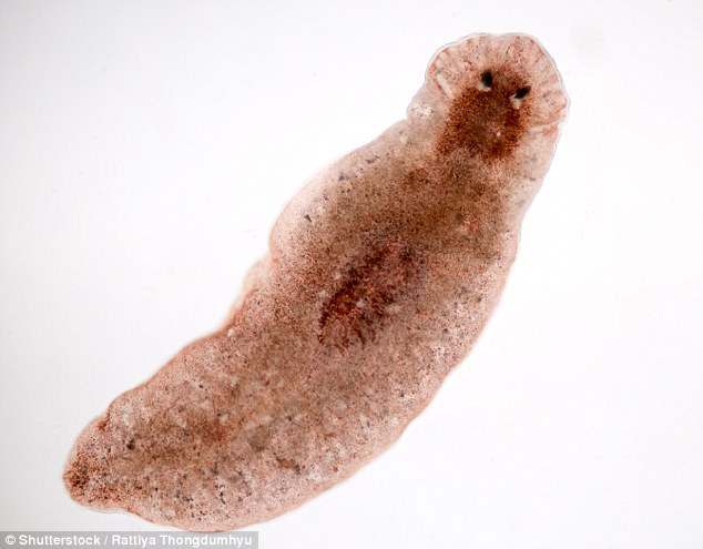 Trematodes are flattened oval flatworms, usually no more than a few centimetres in length, although some species are as small as 1 millimetre (stock photo)