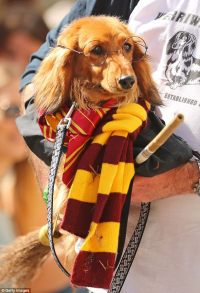 Dachshund dog race takes over Melbourne with cute costumes ...