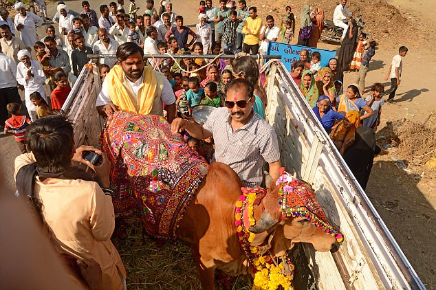 Arjun the bull is dressed and made ready for his wedding to Poonam, a cow, in Ahmedabad