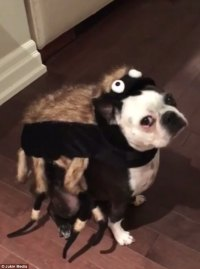 Adorable dog is unimpressed by spider Halloween costume ...