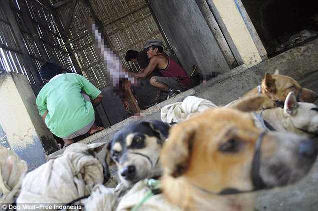 Heartbreaking: Several live dogs lie waiting for death as the butchers skin another dog