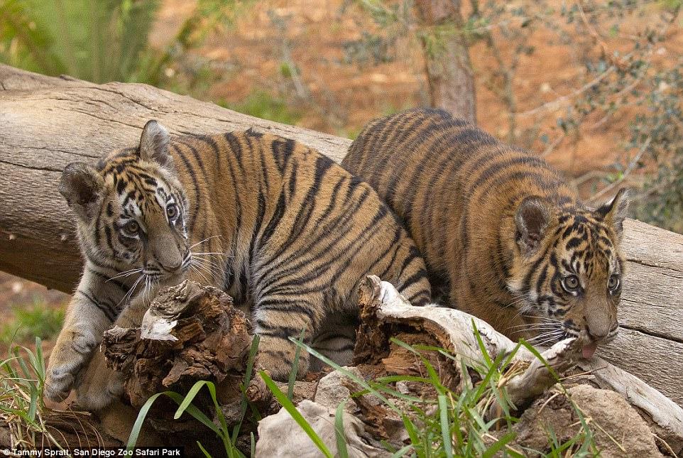 tiger cub rescued settling into life with sumatran cub