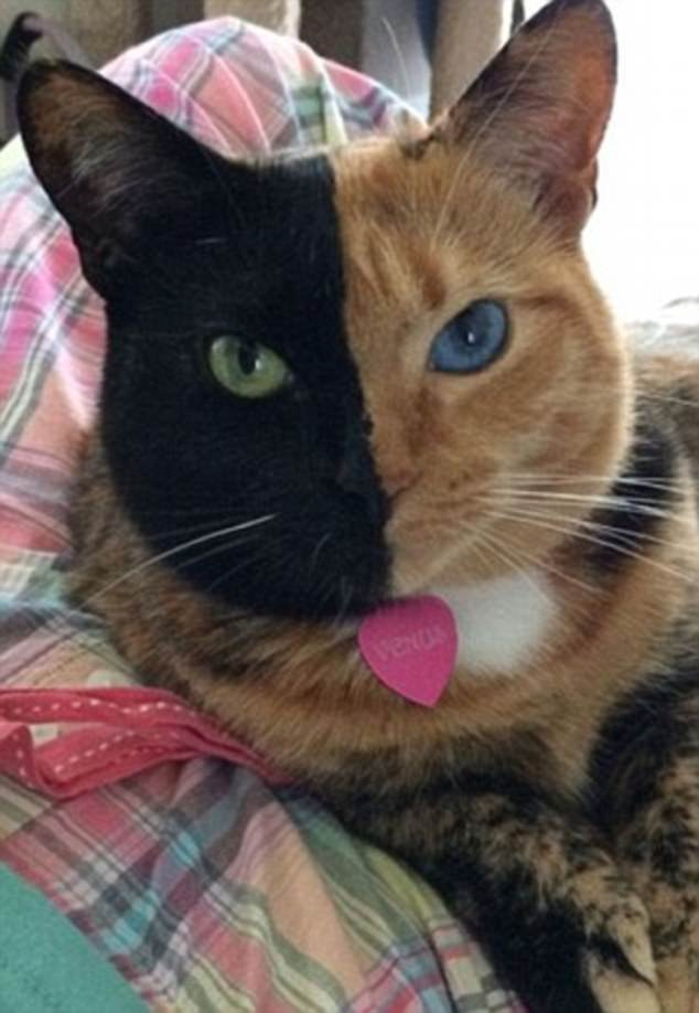 Chimera Cat Goes Viral Thanks To Her Perfectly Split Face