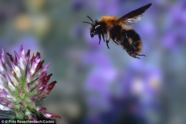 The buzzing of bumblebees as they fly from flower to flower has been altered by pesticides