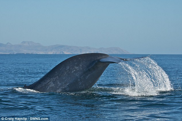 Blue whales are capable of swallowing an incredible half a million calories in a single mouthful. Now, new research has shed light on exactly how they do this - and it appears that being ambidextrous is key. A blue whale dives into the water off the California coast
